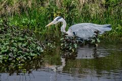 Grey heron ardea cinerea hunting fish in shallow waterin shallow water stock image