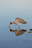 Grey heron, Ardea cinerea. Royalty Free Stock Photos