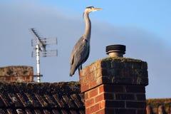 Grey Heron (Ardea cinerea) on the roof tops. stock photo