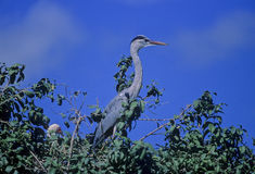 Grey Heron (Ardea cinerea) Stock Photography