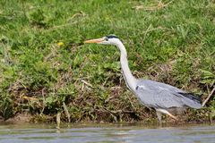 Grey heron, ardea cinerea, searching for food in Danube Delta. Grey heron, ardea cinerea, searching for food on shallow water in Danube Delta, the best preserved royalty free stock photos