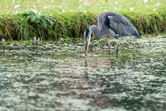 Grey Heron Ardea cinerea searching for food. In shallow waters of a pond, taken in UK stock photo