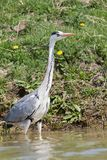 Grey heron, ardea cinerea, in shallow water in Danube Delta. The best preserved delta in Europe; bird searching for food on water vegetation royalty free stock image