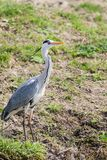 Grey heron, ardea cinerea, at shore in Danube Delta. The best preserved delta in Europe stock photo