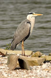 Grey Heron - Ardea cinerea Royalty Free Stock Image