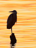 Grey heron, Ardea cinerea, silhouette standing on the sunset lake Stock Photography