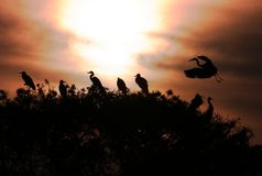 Grey Heron Ardea cinerea silhouttes. On the trees Stock Images