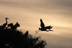 Grey Heron Ardea cinerea silhouttes. On the trees Stock Image