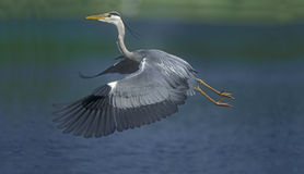 Grey heron, Ardea cinerea. Single bird in flight Stock Photos
