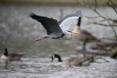 Grey heron, Ardea cinerea. Single bird in flight, Herts, March 2015 Stock Image