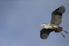 Grey heron, Ardea cinerea. Single bird in flight, London, February 2013 Royalty Free Stock Images
