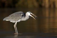Grey heron, Ardea cinerea Stock Image