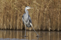 Grey heron, Ardea cinerea. Single bird on ice Royalty Free Stock Photo