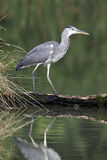 Grey heron, Ardea cinerea Royalty Free Stock Photos