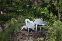 Grey heron, Ardea cinerea Royalty Free Stock Images