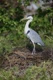 Grey heron, Ardea cinerea Royalty Free Stock Photo
