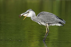 Grey heron, Ardea cinerea Stock Photos