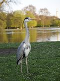 Grey heron. Ardea cinerea stock image