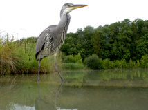 Grey heron, Ardea cinerea Stock Image