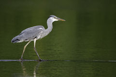 Grey heron, Ardea cinerea Royalty Free Stock Photography