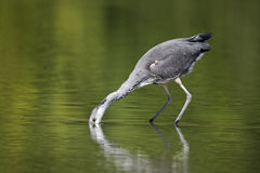 Grey heron, Ardea cinerea. Single young bird catching fish, Midlands, August 2011 Royalty Free Stock Photography