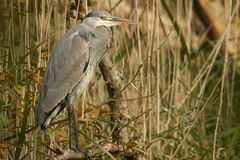 A Grey Heron Ardea cinerea sitting on a branch in the reed bed. A stunning Grey Heron Ardea cinerea sitting on a branch in the reed bed Stock Photos