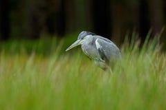 Grey Heron, Ardea cinerea, sitzend im grünen Sumpfgras, Wald im Hintergrund Lizenzfreie Stockfotos