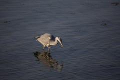 Grey Heron (Ardea cinerea) Stock Images