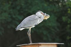 Grey Heron Ardea cinerea standing with the carp Stock Photography