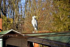 Grey heron, or Ardea cinerea. Grey heron Ardea cinerea standing on the green roof. In Zagreb Zoo, Croatia Royalty Free Stock Photo
