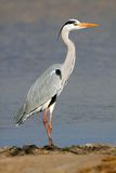 Grey heron Royalty Free Stock Photos