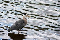 Grey Heron (Ardea cinerea) Royalty Free Stock Images