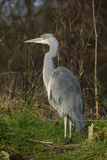 Grey Heron Ardea cinerea Royalty Free Stock Image