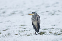 Grey Heron Ardea cinerea standing in the snow. Stock Images