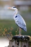 Grey Heron (ardea cinerea) standing by the Thames Stock Images