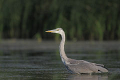 Grey heron/Ardea cinerea. Royalty Free Stock Image
