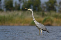 Grey heron (Ardea cinerea) Stock Images