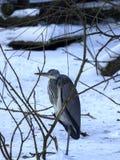 Grey heron, Ardea cinerea survives the winter on the frozen pond, Europe Stock Image