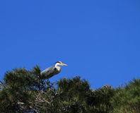 Grey heron, ardea cinerea, in a tree Royalty Free Stock Photography