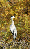 Grey heron ardea cinerea in tree in Regent's Park Royalty Free Stock Photo