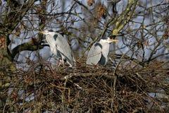 Grey heron, Ardea cinerea Stock Images