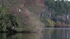 Grey heron, Ardea cinerea, wading bird perched on a tree grooming itself beside a lake in scotland, morayshire. During spring stock video footage