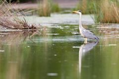 Grey Heron Ardea cinerea. Wading through the shallow water of a small pond in Frankfurt, Germany, Europe Royalty Free Stock Photo