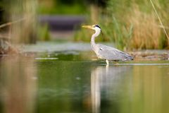 Grey Heron Ardea cinerea. Wading through the shallow water of a small pond in Frankfurt, Germany, Europe Stock Images
