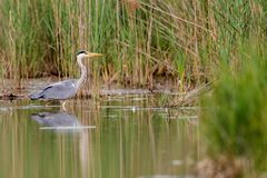 Grey heron ardea cinerea. Wading through the shallow water of a small pond in Frankfurt, Germany, Europe Royalty Free Stock Photos