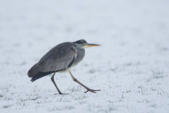 Grey Heron Ardea cinerea walking in the snow. Stock Images
