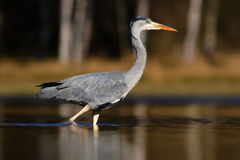 Grey Heron, Ardea cinerea, in water, blurred grass in background. Heron in the forest lake. Bird in the nature habitat, walking in Royalty Free Stock Image