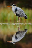 Grey Heron, Ardea cinerea, in water, reflection in the river, blurred grass in background, big water bird in the nature habitat, S Royalty Free Stock Image