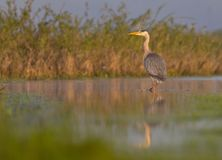 Grey Heron - Ardea cinerea. At a wetland in spring, Nemunas river delta, Lithuania Royalty Free Stock Photography