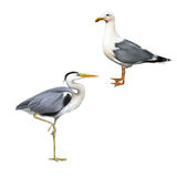 Grey Heron, Ardea Cinerea, white bird seagull. Grey Heron standing, Ardea Cinerea, white bird seagull isolated on white Royalty Free Stock Images